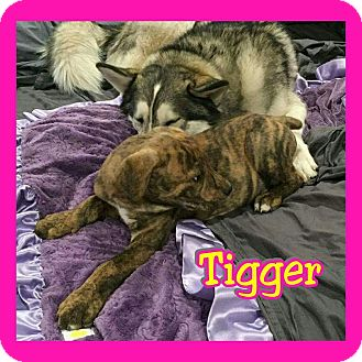 Pit Bull Terrier Mix Puppy for adoption in Mesa, Arizona - Tigger