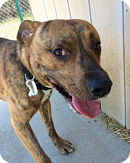 Bullmastiff/Shepherd (Unknown Type) Mix Dog for adoption in Troy, Michigan - Chuckie C