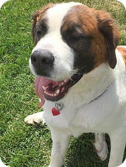 St. Bernard Dog for adoption in Bellflower, California - Beauty