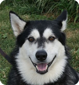 Siberian Husky Mix Dog for adoption in Monroe, Michigan - Almyra