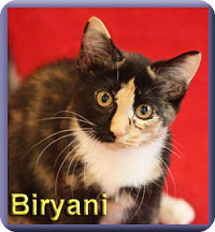 Domestic Shorthair Kitten for adoption in Aldie, Virginia - Biryani