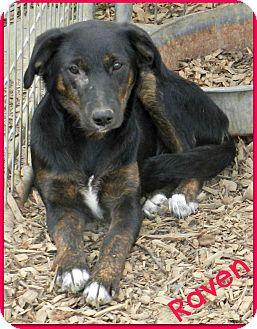 German Shepherd Dog/Terrier (Unknown Type, Medium) Mix Puppy for adoption in Lawrenceburg, Tennessee - Raven