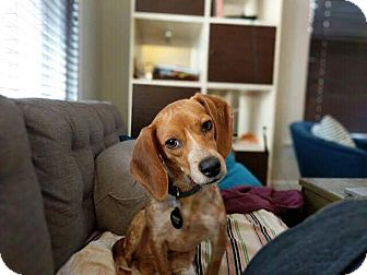 Beagle Mix Dog for adoption in Rochester, New Hampshire - Trudy