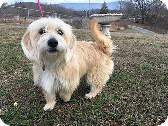 Shih Tzu Mix Dog for adoption in Staunton, Virginia - Blondie