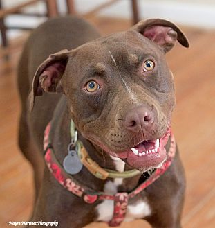 Pit Bull Terrier/Boxer Mix Dog for adoption in Marietta, Georgia - Fancy Pants