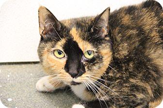Domestic Shorthair Cat for adoption in Greensboro, North Carolina - Squeak