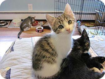 Domestic Shorthair Kitten for adoption in Trenton, New Jersey - Fandango (KY)