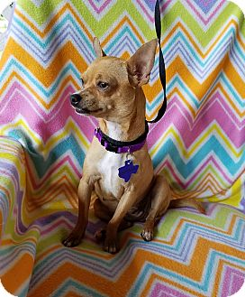 Chihuahua/Terrier (Unknown Type, Small) Mix Dog for adoption in Toronto, Ontario - Larissa