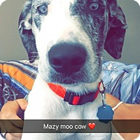 Great Dane/Catahoula Leopard Dog Mix Puppy for adoption in North Dighton, Massachusetts - Mazy