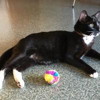 Adopt A Pet :: Dedos - Corvallis, OR