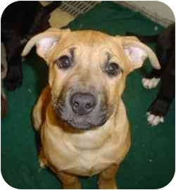 American Pit Bull Terrier/Boxer Mix Puppy for adoption in Walker, Michigan - Goldie