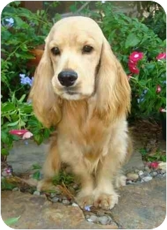 Cocker Spaniel Dog for adoption in Sugarland, Texas - Sparky