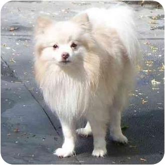 Pomeranian Dog for adoption in Seattle c/o Kingston 98346/ Washington State, Washington - Willy