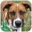 Photo 1 - St. Bernard Mix Dog for adoption in Eatontown, New Jersey - Jax