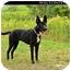 Photo 1 - Pharaoh Hound/German Shepherd Dog Mix Dog for adoption in Monroe, Georgia - Ali