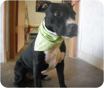 Pit Bull Terrier Puppy for adoption in Rock Springs, Wyoming - Ebany