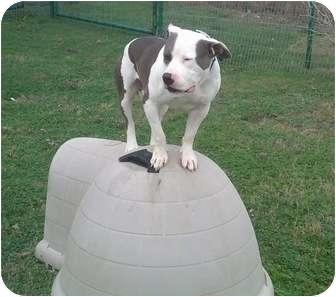 American Pit Bull Terrier Mix Dog for adoption in Aubrey, Texas - Little John