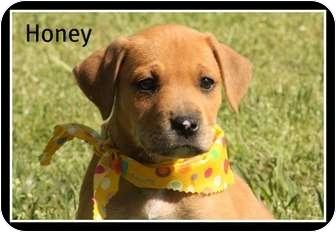 Labrador Retriever/Husky Mix Puppy for adoption in Cranford, New Jersey - Honey