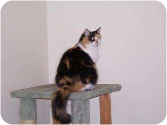 Domestic Mediumhair Cat for adoption in Columbia, Maryland - Isis