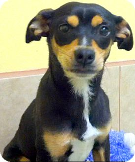 Miniature Pinscher/Dachshund Mix Dog for adoption in Los Angeles, California - Theresa *VIDEO*