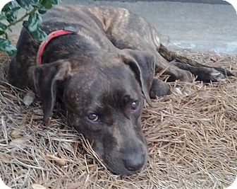 Boxer/Plott Hound Mix Dog for adoption in Orange Lake, Florida - Punkin