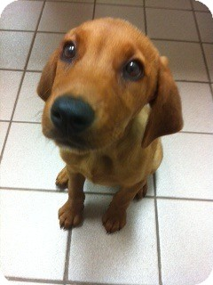 Golden Retriever/Rhodesian Ridgeback Mix Puppy for adoption in Knoxville, Tennessee - Minnow