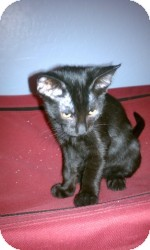 Domestic Shorthair Kitten for adoption in Gilbert, Arizona - Mia