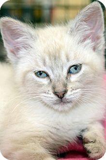 American Shorthair Kitten for adoption in Clinton, Louisiana - Annalee