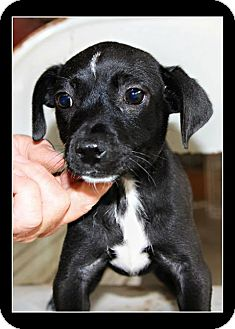 Labrador Retriever/Shepherd (Unknown Type) Mix Puppy for adoption in Comanche, Texas - Ebony