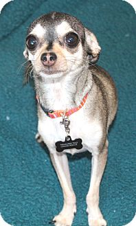 Chihuahua Dog for adoption in Temecula, California - Miko 4 lbs