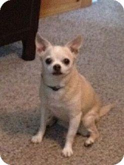 Chihuahua Dog for adoption in Wilmington, Delaware - Cha Cha