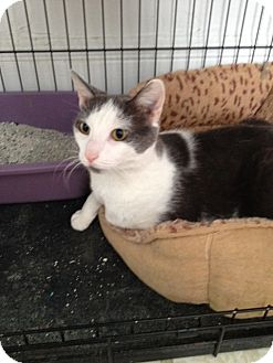 Domestic Shorthair Cat for adoption in Elmwood Park, New Jersey - Jorgie