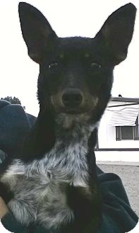 Chihuahua/Fox Terrier (Toy) Mix Dog for adoption in Chilliwack, British Columbia - Bob