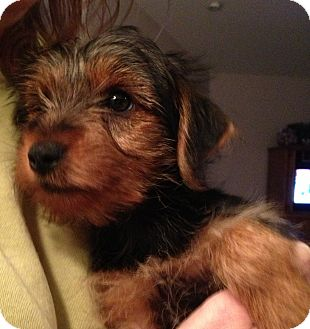 Yorkie, Yorkshire Terrier Puppy for adoption in Fairview Heights, Illinois - Nelson