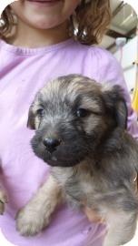 Poodle (Miniature) Mix Puppy for adoption in Tucson, Arizona - Bumpkin