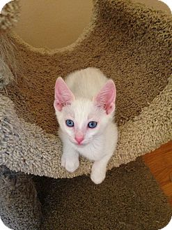 Siamese Kitten for adoption in Rocklin, California - Foxtrot