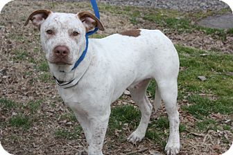 American Staffordshire Terrier/Boxer Mix Dog for adoption in Conway, Arkansas - Sarge