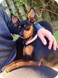 Miniature Pinscher Dog for adoption in Baton Rouge, Louisiana - Lady Bug