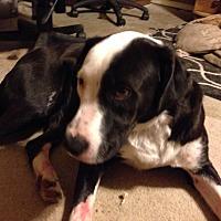 Adopt A Pet :: Phantom - Royse City, TX