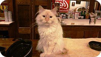 Siamese Cat for adoption in Grand Junction, Colorado - Elsa