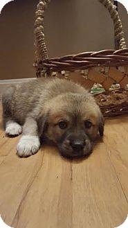Great Pyrenees/Siberian Husky Mix Puppy for adoption in Cincinnati, Ohio - Savannah