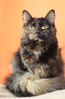 Domestic Shorthair Cat for adoption in Atlanta, Georgia - Chaco-lot 14850
