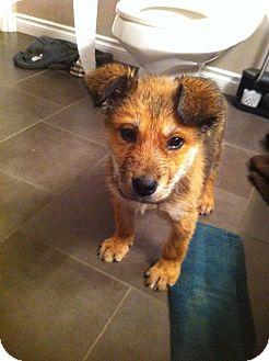 Shepherd (Unknown Type)/Husky Mix Puppy for adoption in Meadow Lake, Saskatchewan - Felix