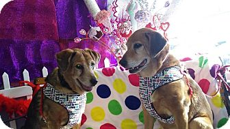 Retriever (Unknown Type)/Beagle Mix Dog for adoption in Ft. Collins, Colorado - Maggie and Molly Bonded Pair