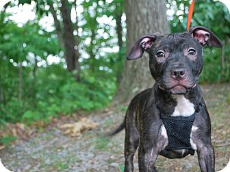 Pit Bull Terrier Mix Puppy for adoption in New Castle, Pennsylvania - Nova