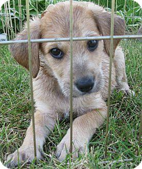 Labrador Retriever Mix Puppy for adoption in Schaumburg, Illinois - Jax