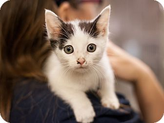 Domestic Shorthair Kitten for adoption in Dallas, Texas - Mouse