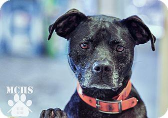 Labrador Retriever/Boston Terrier Mix Dog for adoption in Martinsville, Indiana - Foxy Roxy