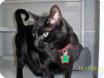 Domestic Shorthair Cat for adoption in Gunnison, Colorado - Diamond Jim