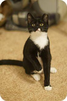 Domestic Shorthair Kitten for adoption in Stafford, Virginia - Jet